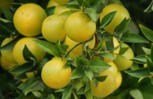 精油辞典:グレープフルーツ精油の効果効能